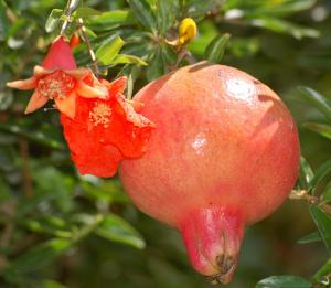 pomegranate-fruit-and-flower1